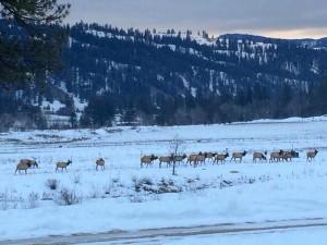 elk at retreat